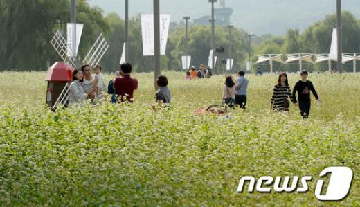 [사진]활짝 핀 메밀꽃밭에서