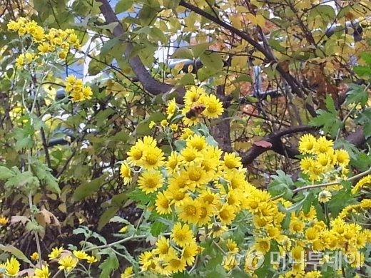 2013년 11월4일 낮 12시30분경, 서울 청계천에서 향기에 넘어간 꿀벌이 들국화를 향유하고 있다.