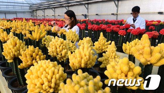 [사진]봄의 色 알리는 접목선인장