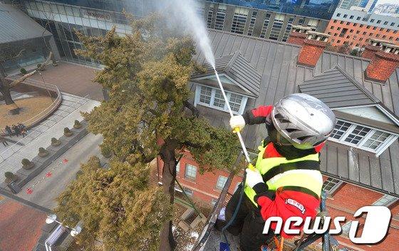 [사진]500년 향나무, 새봄맞이 단장