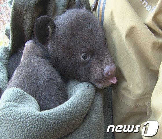 [사진]갓 태어난 새끼 반달가슴곰