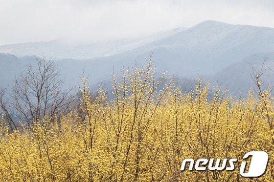 [사진]지리산 잔설과 산수유꽃 '장관이네'