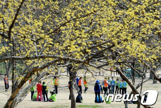 [사진]봄 햇살 산수유 나무 아래 체육대회