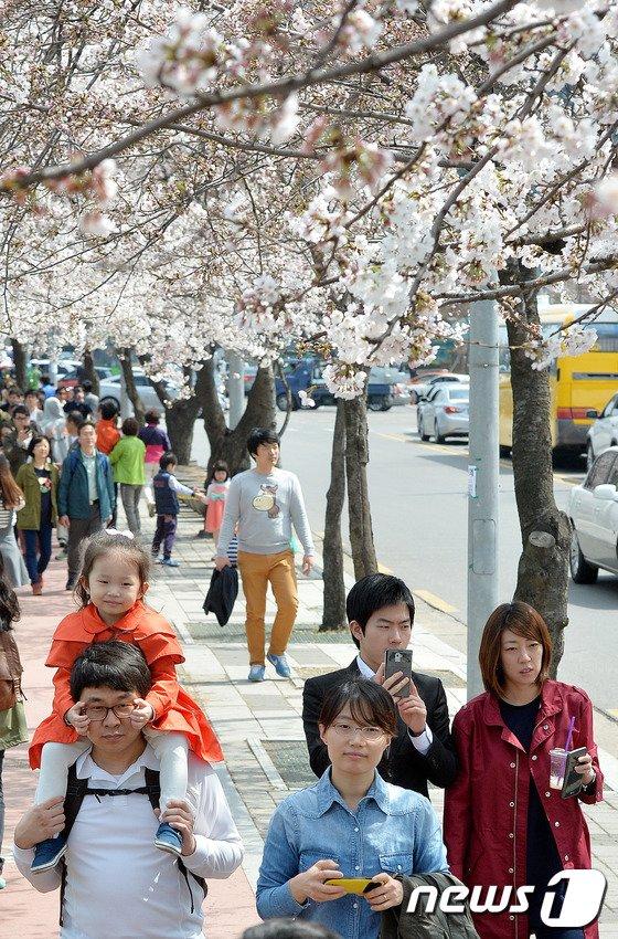 [사진]'무등타고 벚꽃 구경'