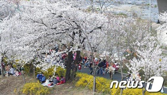 [사진]만개한 벚꽃나무 사이로