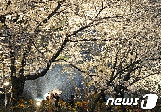 전주동물원 벚꽃 야간개장 첫날인 3일 오후 시민들과 관광객들이 우산을 들고 만개한 벚꽃을 보며 즐거운 시간을 보내고 있다. /뉴스1 © News1 김대웅 기자