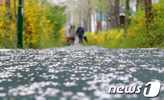 봄비가 오락가락한 3일 서울 노원구 창동교 중랑천변에서 시민들이 우산을 잠시 접어든 채 벚꽃길을 걷고 있다. 2014.4.3/뉴스1 © News1   오대일 기자