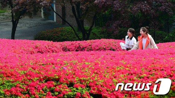 [사진]캠퍼스 물들인 대왕철쭉꽃