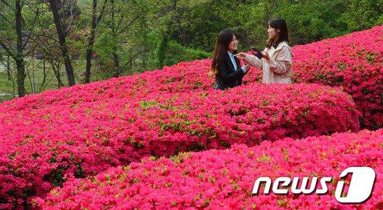 [사진]철쭉꽃 만개한 대학 캠퍼스