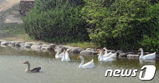 [사진]분수 물줄기 맞는 거위