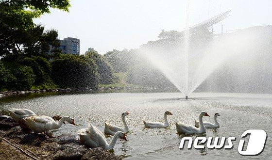 [사진]초여름날씨, 거위들 연못으로