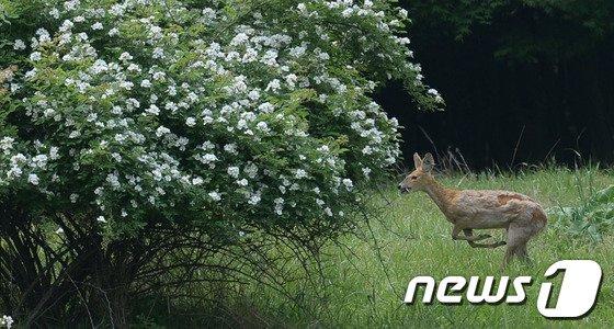 [사진]고라니 뛰어다니는 '구원파' 금수원