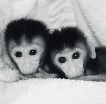 다중 변이로 쌍둥이 짧은 꼬리원숭이의 게놈 변형이 이루어졌다