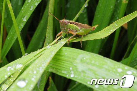 [사진]아침 이슬먹는 메뚜기