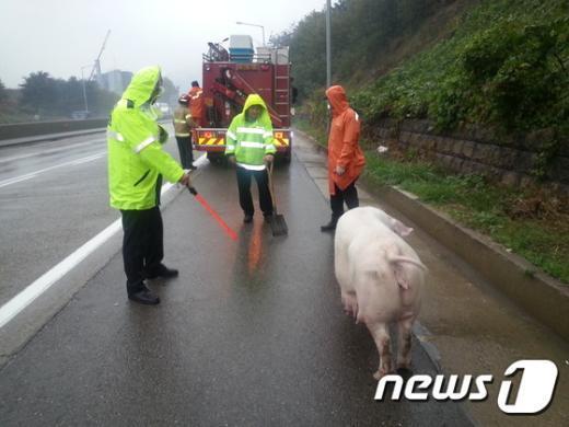 [사진]고속도로 활보하는 돼지