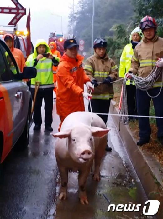 [사진]중부고속도로서 돼지 탈출 포획 소동