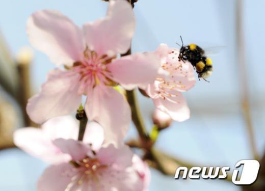[사진]호박벌의 봄나들이
