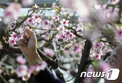 [사진]활짝 핀 복숭아꽃