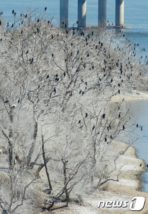 [사진]'눈이 아닙니다' 밤섬 버드나무 백화현상