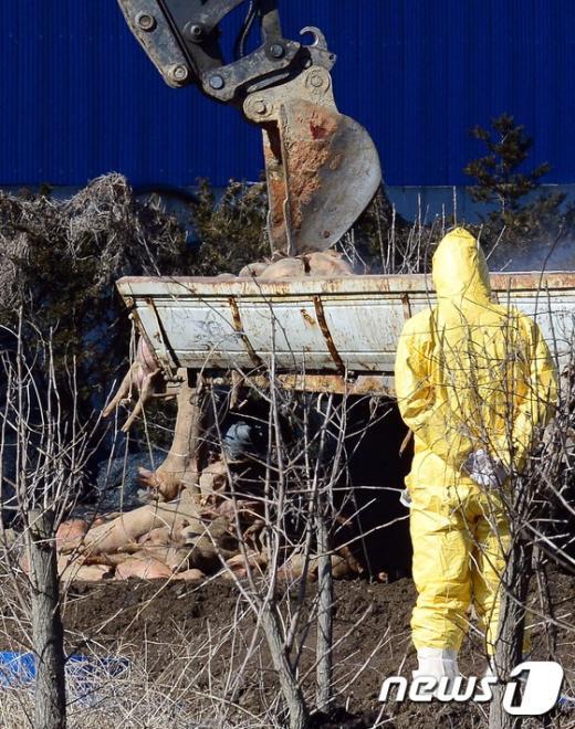 [사진]공주 구제역 발생농가 살처분 현장