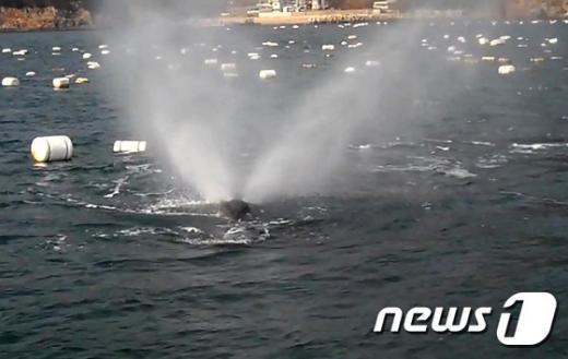 [사진]물 뿜어내는 긴수염고래