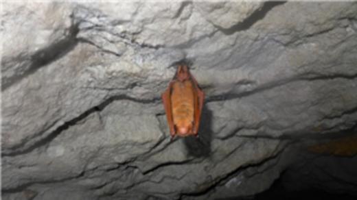 치악산국립공원 내 폐광에서 서식중인 '붉은박쥐'. (국립공원관리공단 제공)© News1