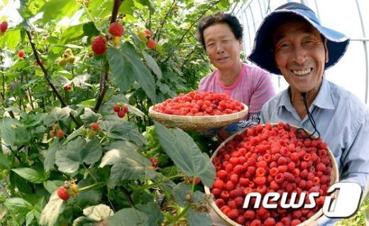 [사진]'잘 익은 산딸기 맛보세요'