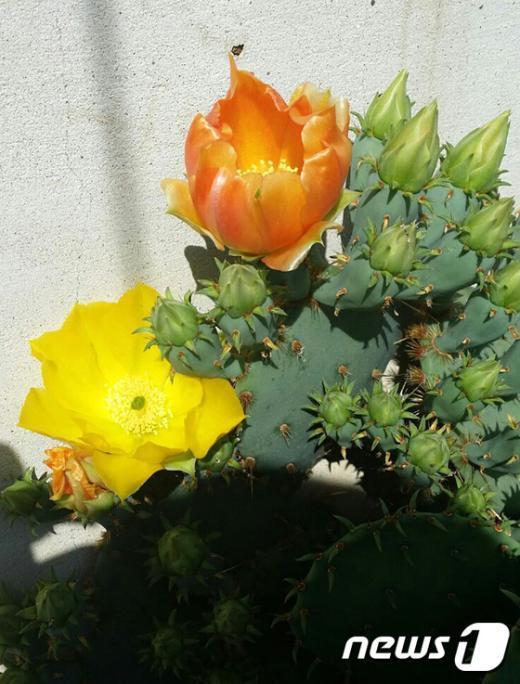 [사진]'백년초가 꽃을 피웠어요'