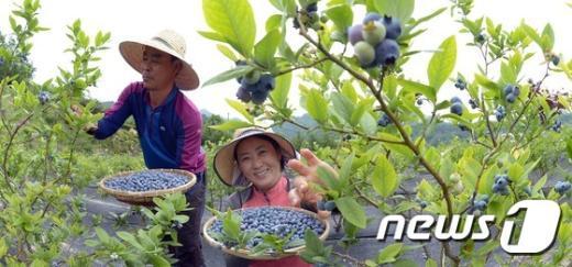 [사진]새콤달콤 몸에 좋은 거창 블루베리 첫 수확