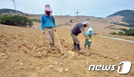 [사진]가뭄으로 황량한 고랭지 배추밭