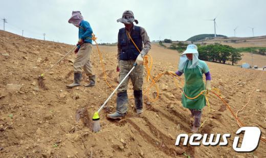 [사진]고랭지 배추밭, 힘겨운 가뭄과의 전쟁