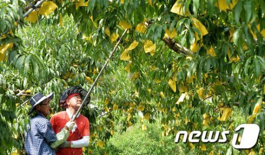 [사진]복숭아 나무 고정시키는 관계자