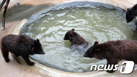 [사진]물놀이하며 더위식히는 반달가슴곰