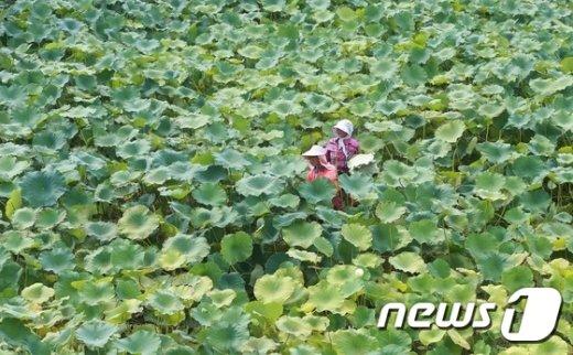 [사진]끝없는 연잎 물결