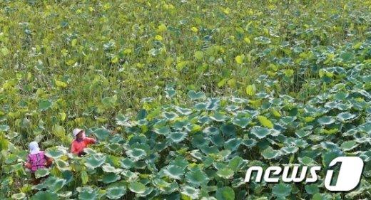 [사진]푸른 연잎이 만들어낸 풍경