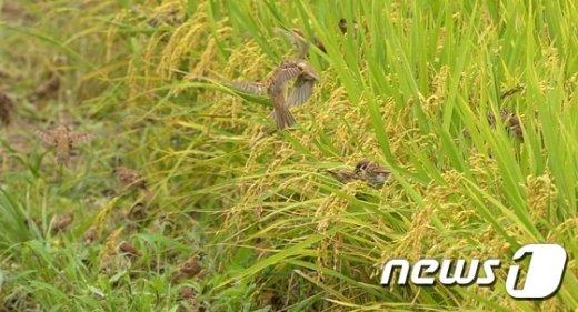 [사진]벼 이삭 먹는 참새