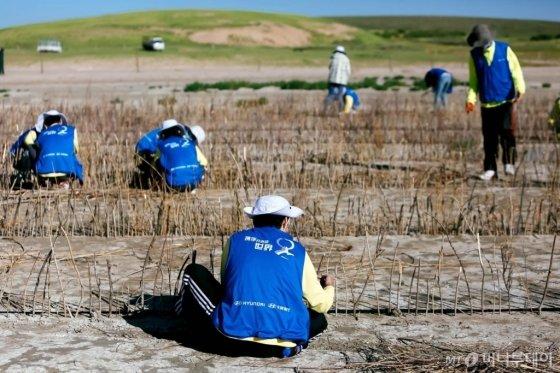 현대차 중국법인 직원들이 내몽고 보샤오떼노르 호수에서 사막화 방지를 위한 나뭇가지 방풍재를 만들고 있다.