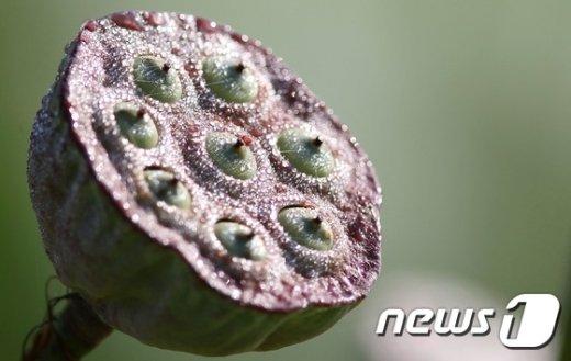 [사진]아침이슬 만난 연씨앗