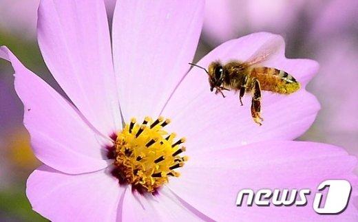 [사진]꿀 찾아 코스모스에