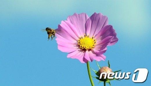 [사진]코스모스 찾은 꿀벌