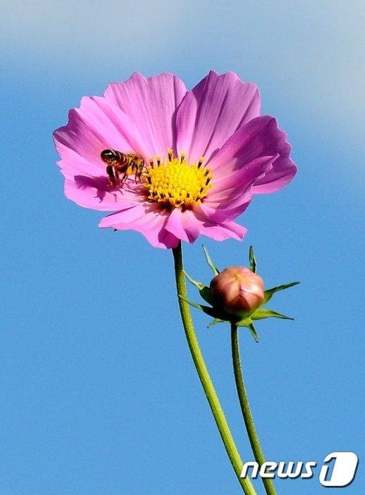 [사진]'하늘, 코스모스, 꿀벌'