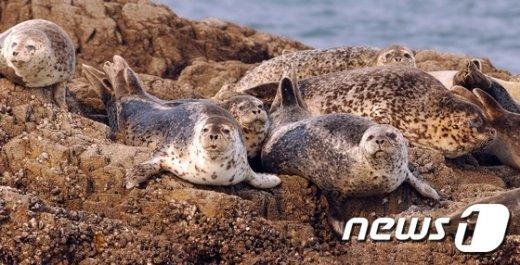 [사진]해수부, 점박이물범 개체수 보호 나선다