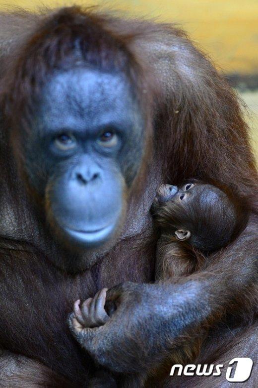 [사진]엄마품에 안겨 젖먹는 보르네오 순종 새끼 오랑우탄