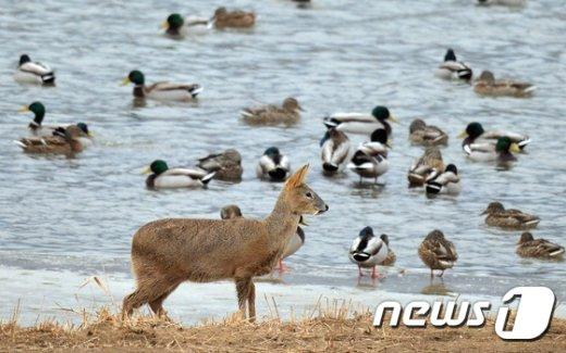 [사진]우수(雨水)...먹이찾는 고라니
