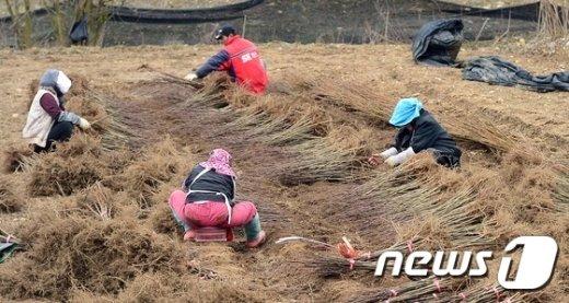 [사진]묘목 수확에 분주한 농민