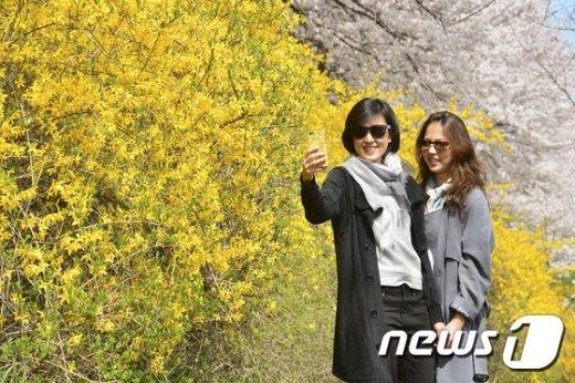 [사진]흐드러지게 핀 개나리와 벚꽃