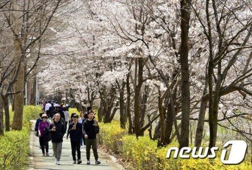 [사진]흐드러지게 핀 양재천 벚꽃