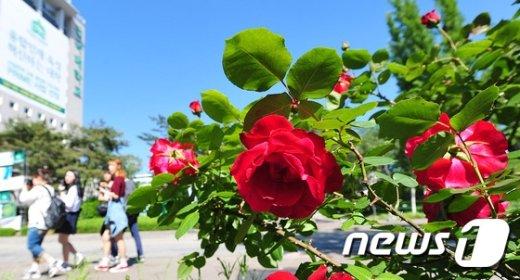 [사진]장미로 화사해진 건국대 캠퍼스