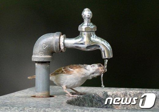 경기도 수원시 팔달구 도심의 한 공원에서 참새 한 마리가 목을 축이고 있다. /뉴스1 DB
