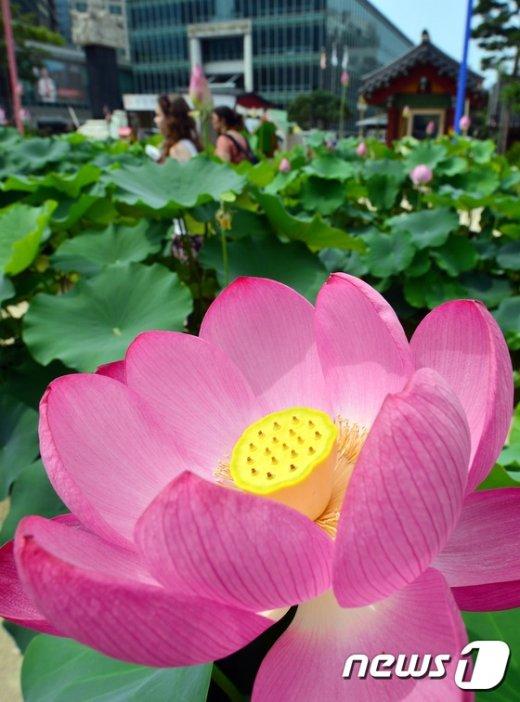 [사진]'연꽃 핀 조계사'